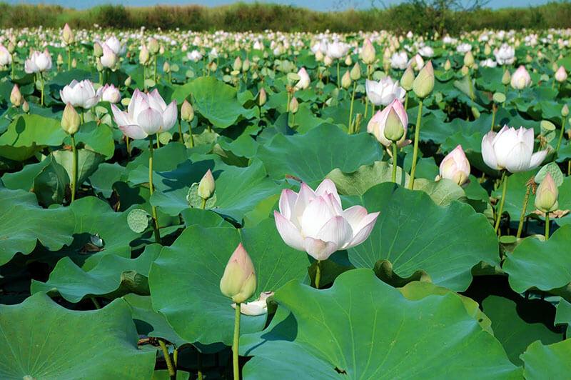 The Lotus Symbol In Vietnamese Culture I Tour Vietnam Blogs